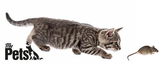 חתול רודף אחר מכרסם