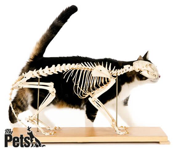 מבנה השלד של החתול