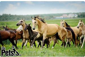 עדר סוסים בטבע