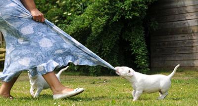 משהו רציני My Pets - בול טרייר לבן | צבעוני | מיניאטורי SK-88